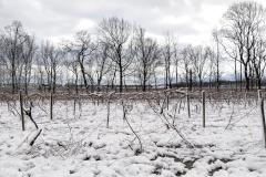 Snow on Grape Vines to Mr. Measley and Ms. Greenwell of Philadelphia (062)